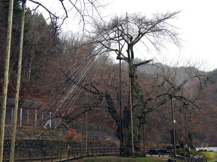 雪害から守る雪吊り 荘川桜9