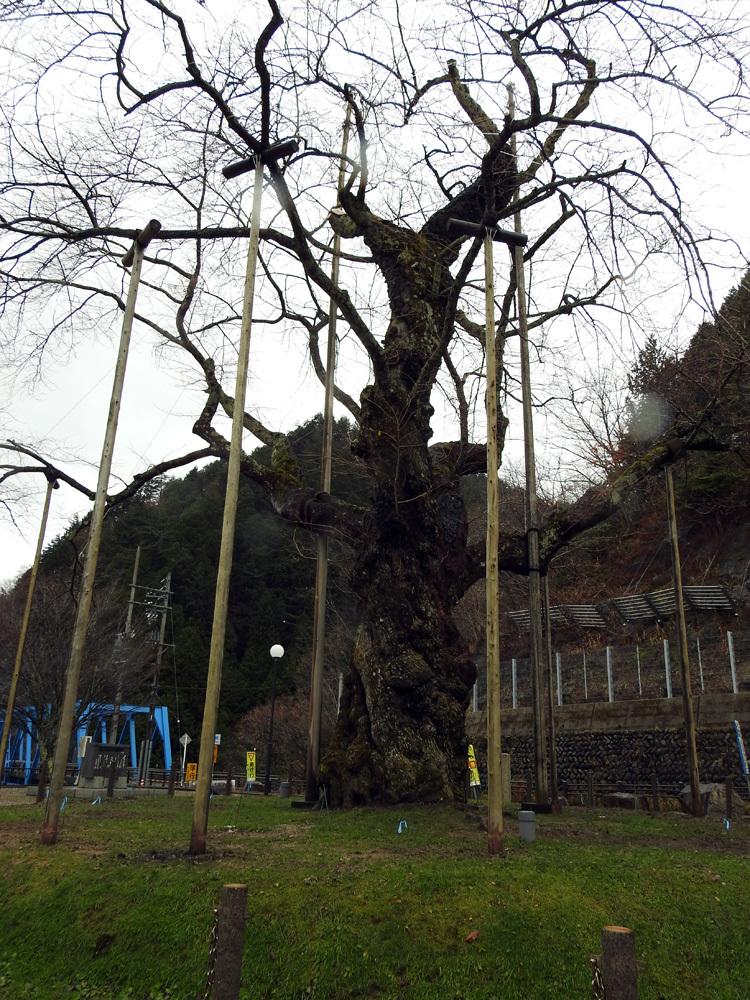 雪害から守る雪吊り 荘川桜10