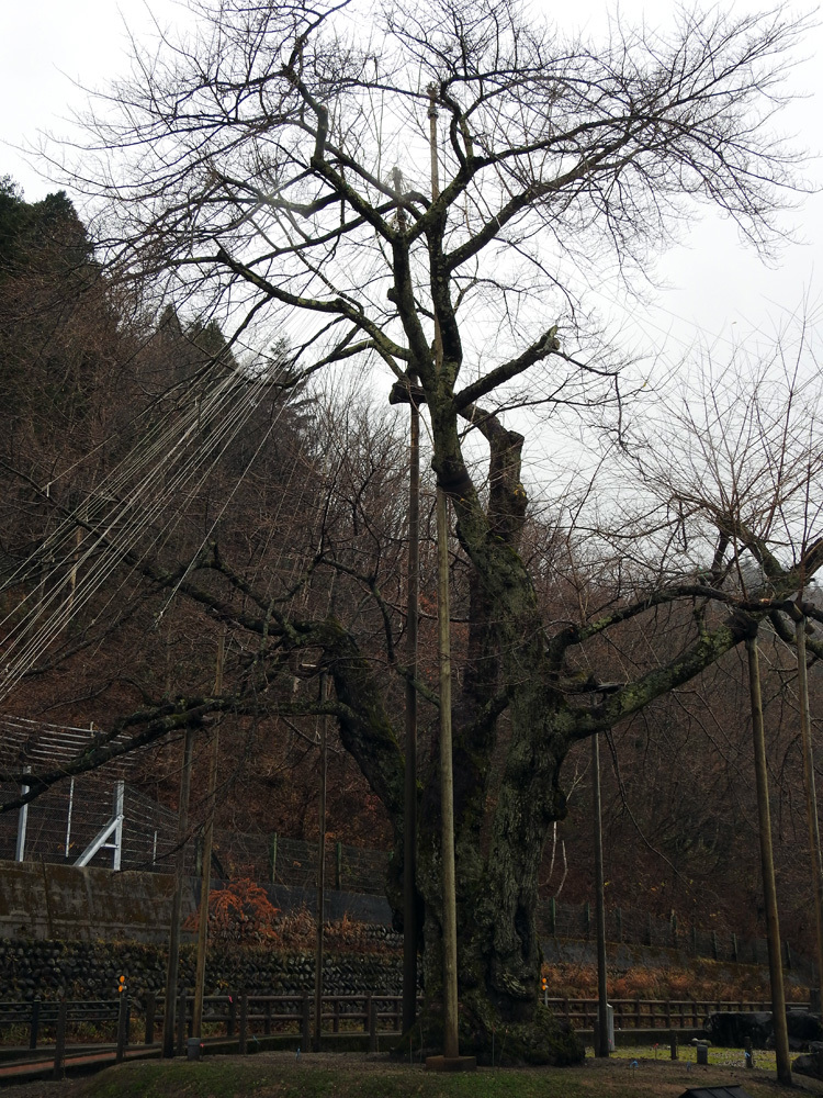 雪害から守る雪吊り 荘川桜11