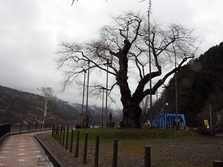 雪害から守る雪吊り 荘川桜12