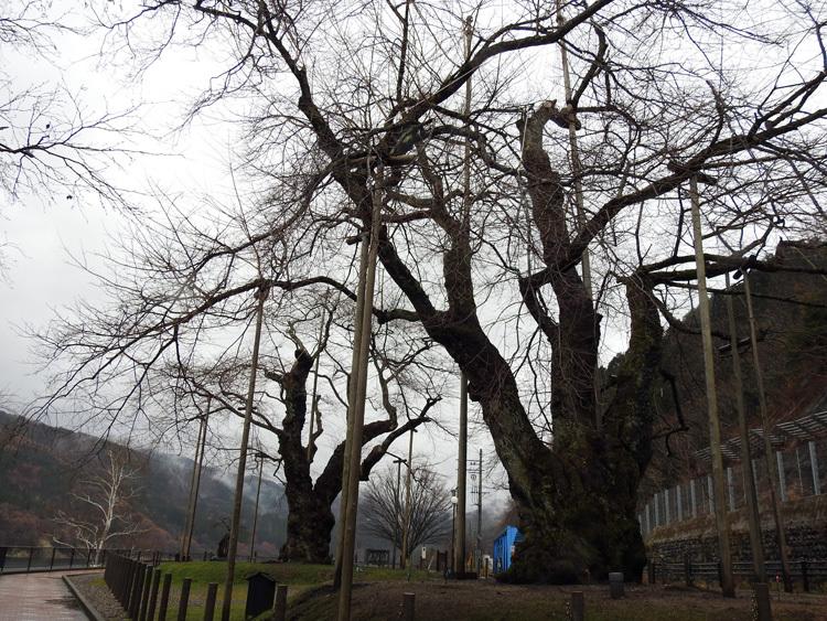 雪害から守る雪吊り 荘川桜13