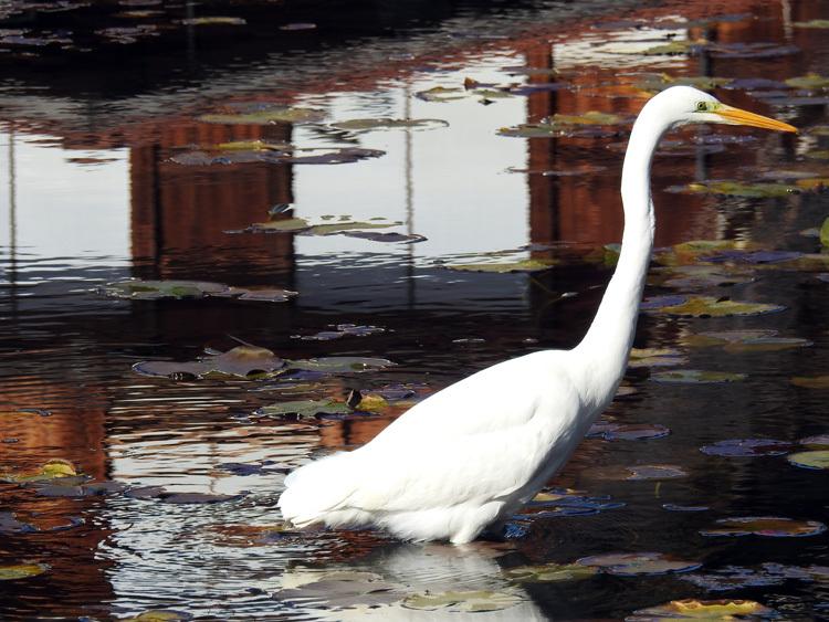 白川郷にすまう 白サギ 和田家スイレン池に出没2