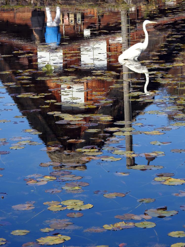白川郷にすまう 白サギ 和田家スイレン池に出没4
