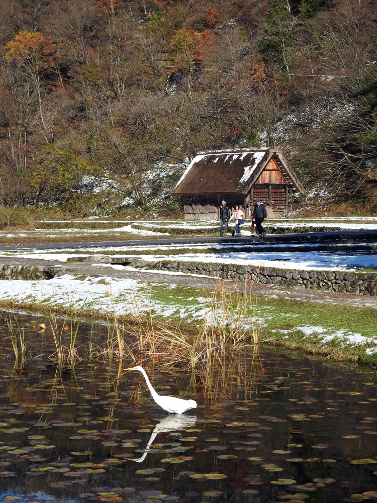 白川郷にすまう 白サギ 和田家スイレン池に出没8