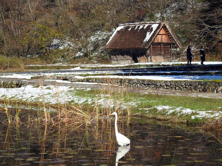 白川郷にすまう 白サギ 和田家スイレン池に出没10