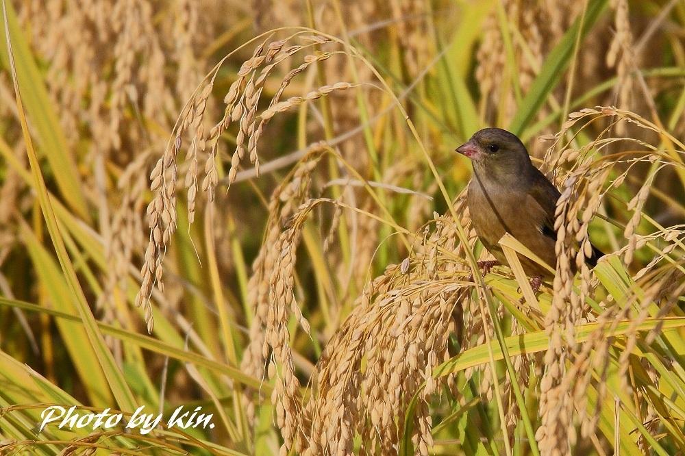 Oriental Greenfinch ♪ ~カワラヒワ~
