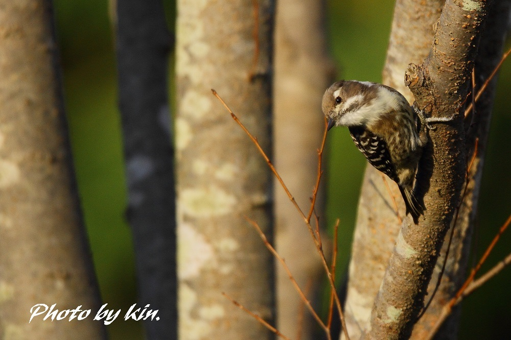 Japanese Pygmy Woodpecker ♪ ~PART4~