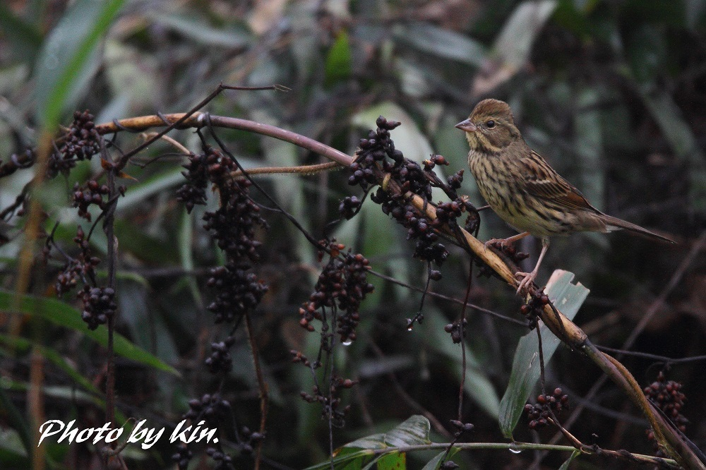 Black-faced bunting ♪ ~アオジ PART2~