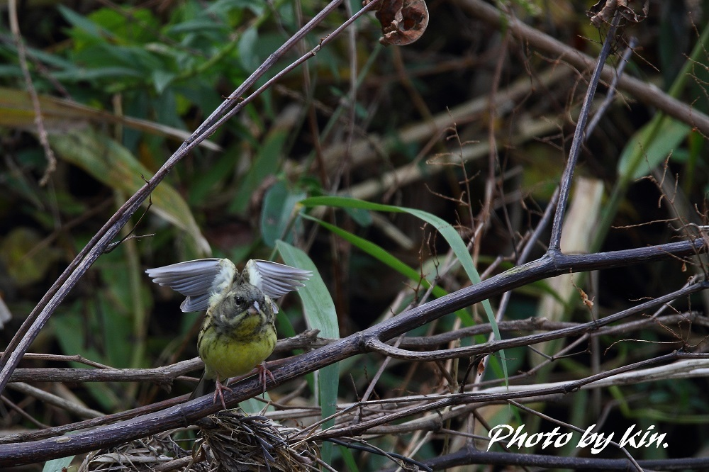 Black-faced bunting ♪ ~アオジ PART3~