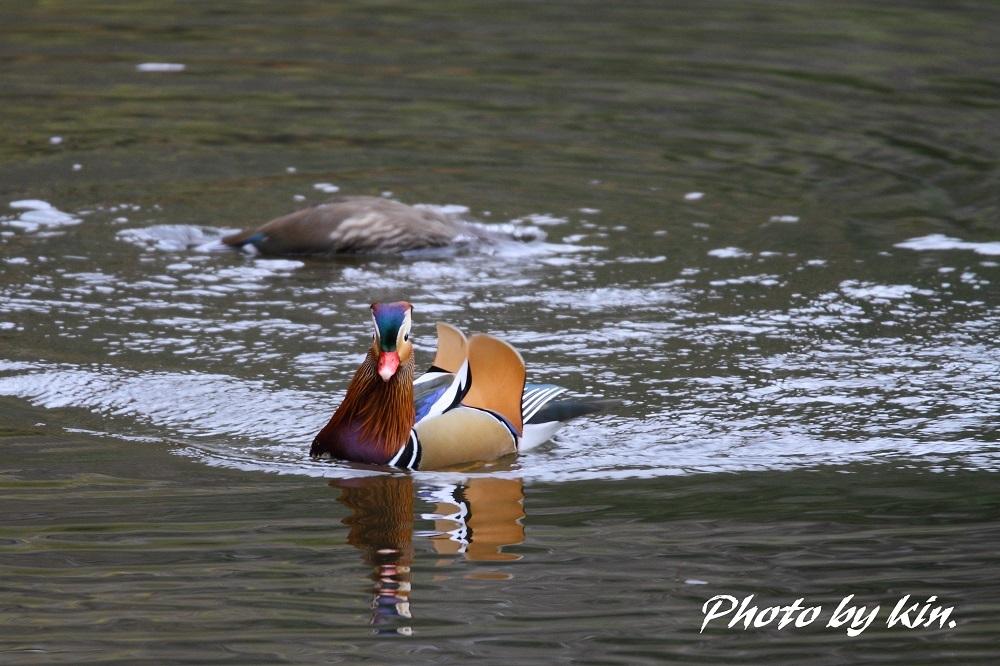 Mandarin duck ♪ ~PART2~