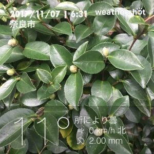 立冬の山茶花