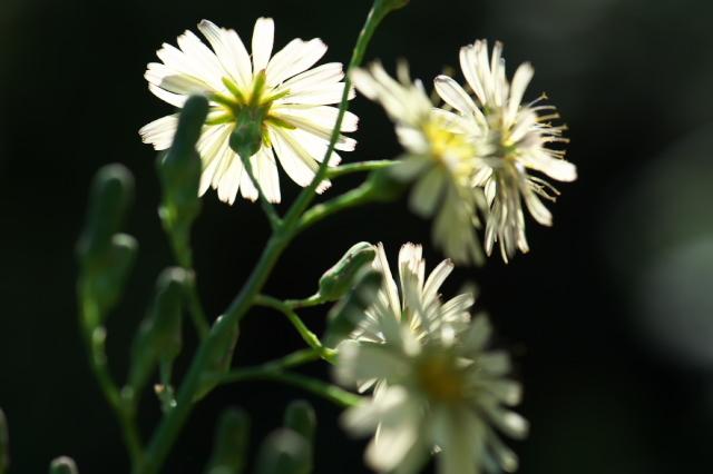 アキノノゲシ( Lactuca indica)-01