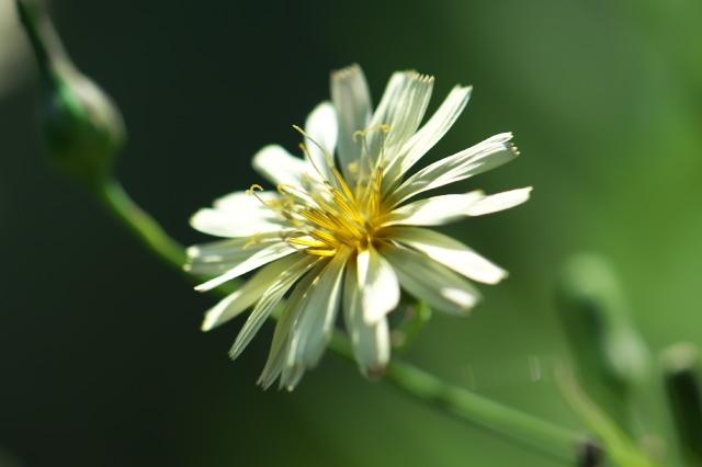 アキノノゲシ( Lactuca indica)-02