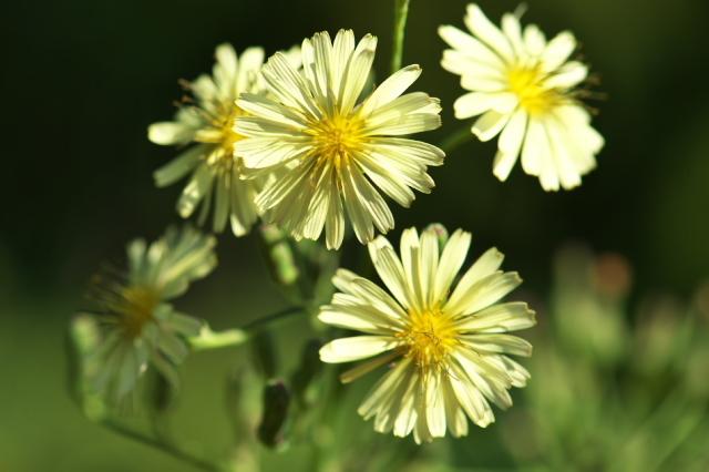 アキノノゲシ( Lactuca indica)-04