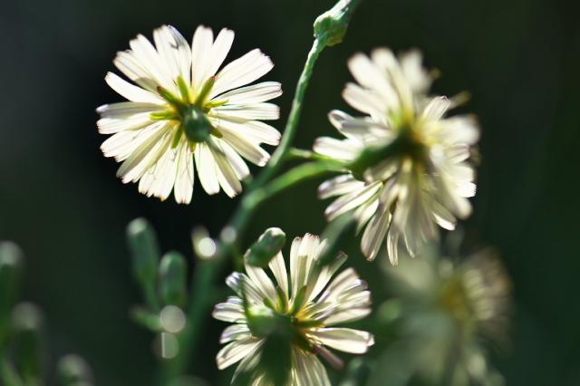 アキノノゲシ( Lactuca indica)-03