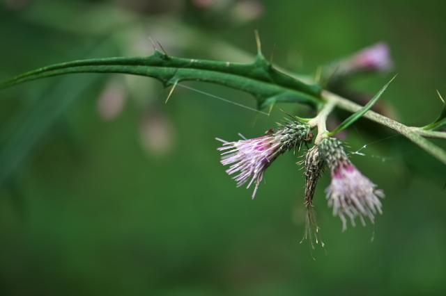 アズマアザミ(Cirsium microspicatum)-01