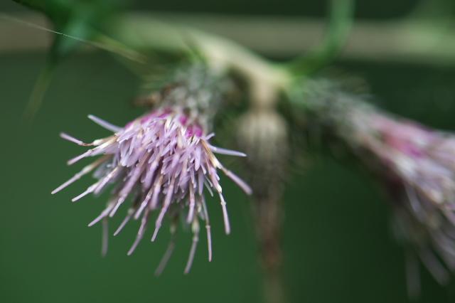 アズマアザミ(Cirsium microspicatum)-02