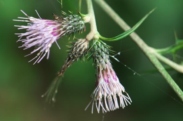 アズマアザミ(Cirsium microspicatum)-03
