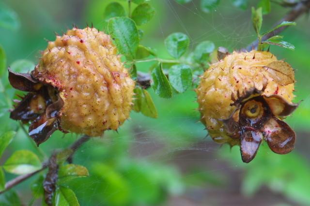 Rosa roxburghii normalis hip-03