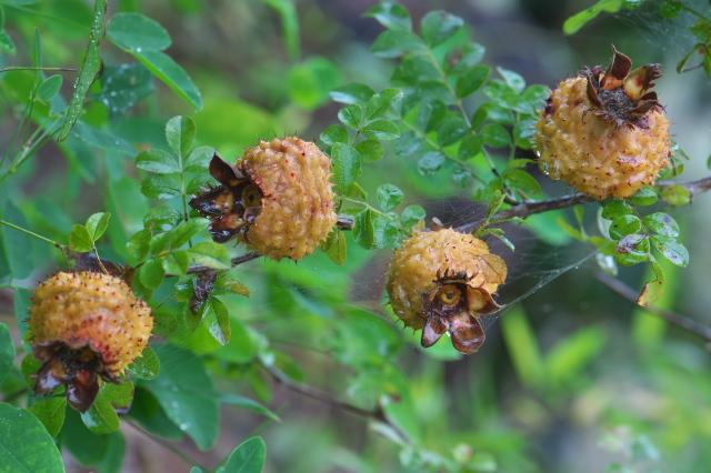 Rosa roxburghii normalis hip-04