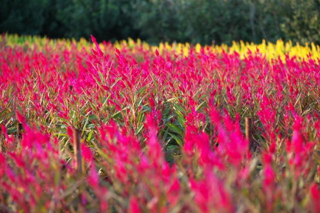 ケイトウの花の絨毯-02