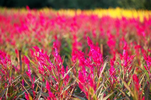 ケイトウの花の絨毯-03