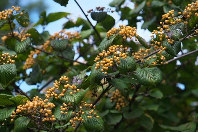 キミノガマズミ(Viburnum dilatatum f. xanthocarpum)-01