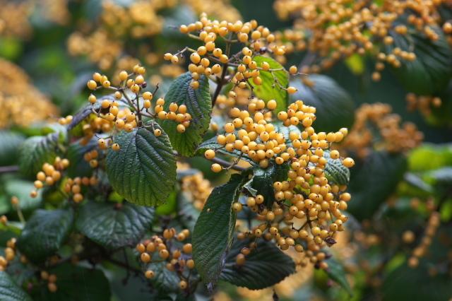 キミノガマズミ(Viburnum dilatatum f. xanthocarpum)-02