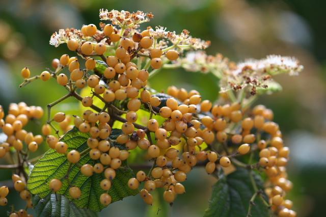 キミノガマズミ(Viburnum dilatatum f. xanthocarpum)-04