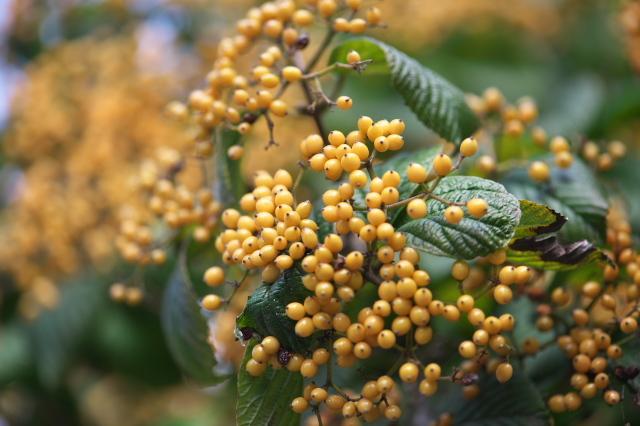 キミノガマズミ(Viburnum dilatatum f. xanthocarpum)-03