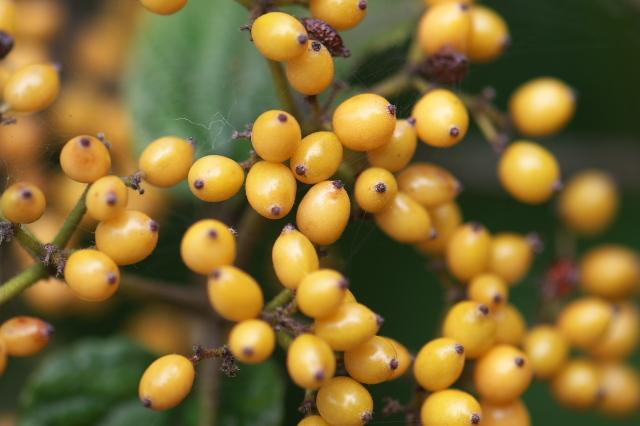キミノガマズミ(Viburnum dilatatum f. xanthocarpum)-05