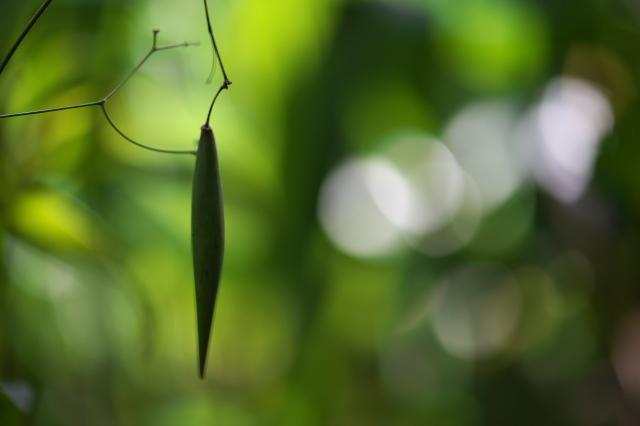 クサナギオゴケ(Paeonia obovata)の果実-01
