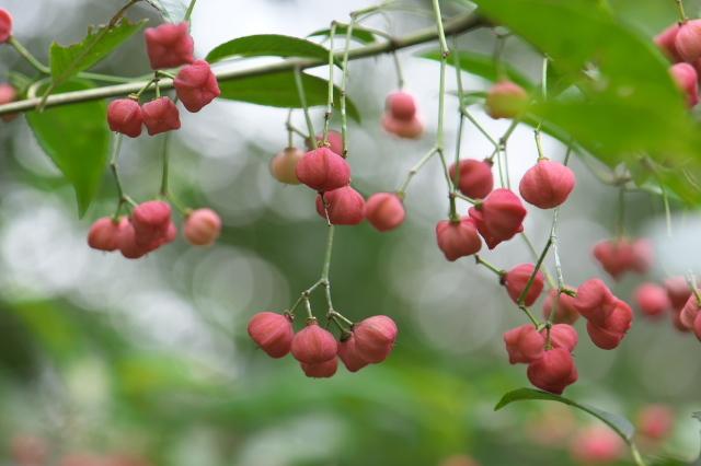 マユミの果実-02