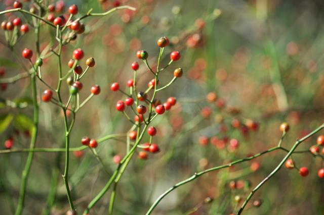 Rosa.multiflora(ノイバラ)のローズヒップ-02