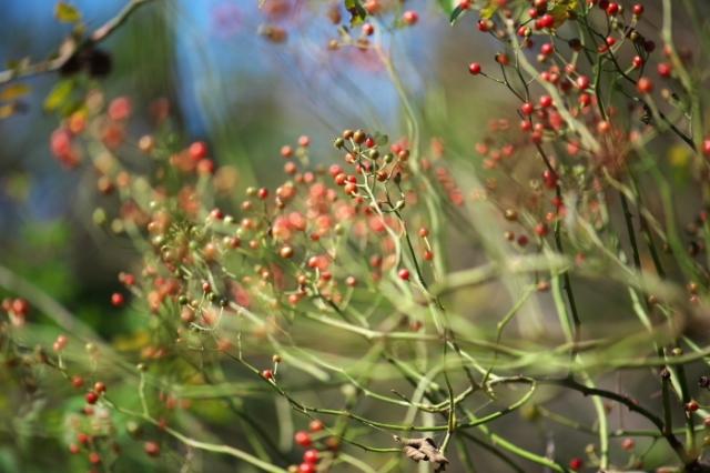 Rosa.multiflora(ノイバラ)のローズヒップ-01