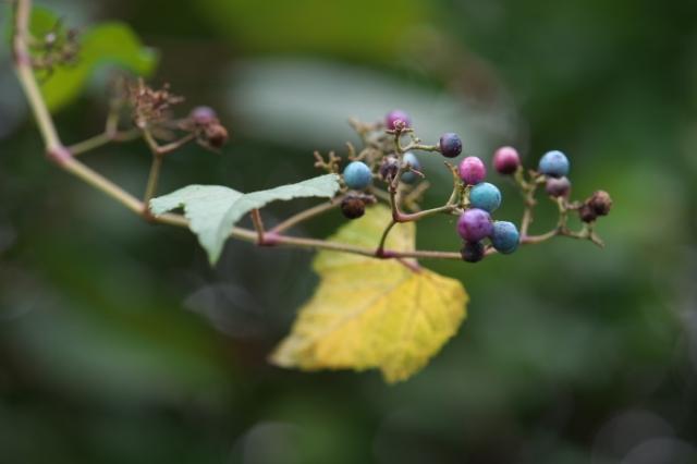 野ブドウの美しい彩り-01