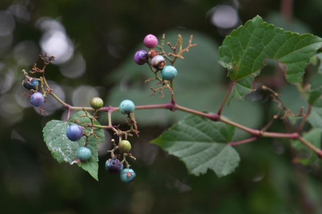 野ブドウの美しい彩り-03