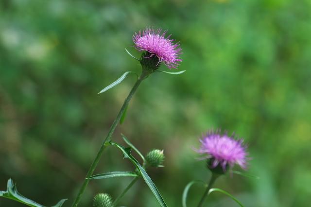ノハラアザミ Cirsium oligophyllum-01
