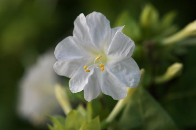 白花のオシロイバナ-02
