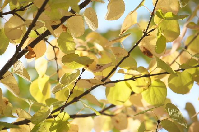 カツラの黄葉-01