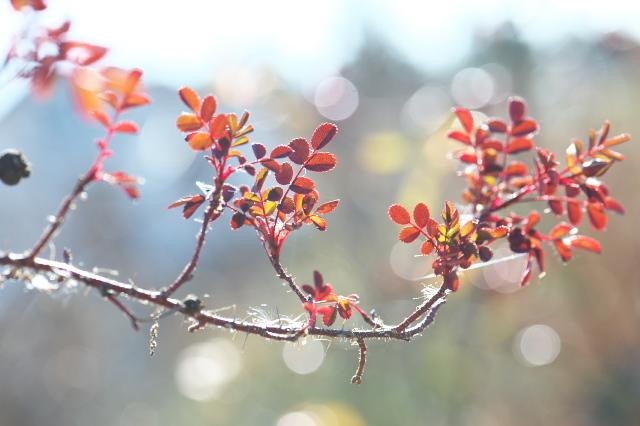 Rosa.spinosissima ' Bicolor '-01