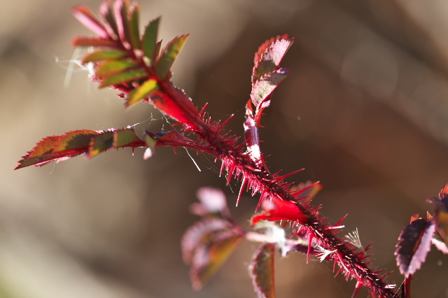 Rosa.spinosissima ' Bicolor '-06