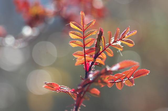 Rosa.spinosissima ' Bicolor '-02