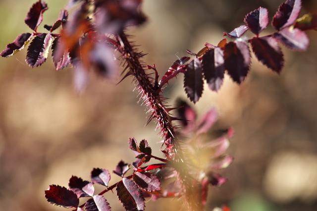 Rosa.spinosissima ' Bicolor '-04