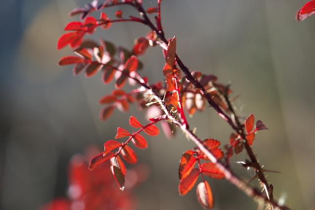 Rosa.spinosissima ' Bicolor '-03