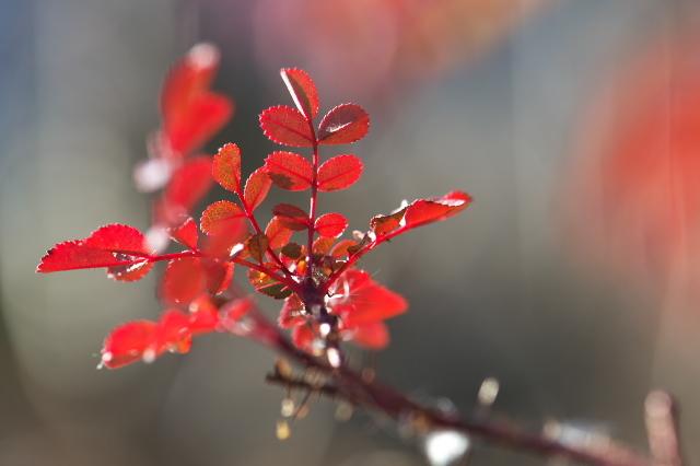 Rosa.spinosissima ' Bicolor '-07