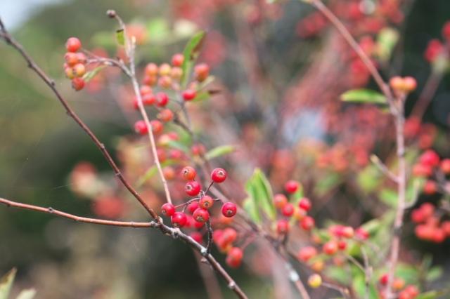 西洋カマツカ(西洋鎌柄 Aronia arbutifolia )-01