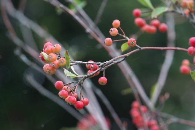 西洋カマツカ(西洋鎌柄 Aronia arbutifolia )-04