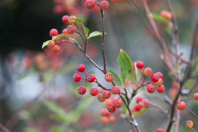西洋カマツカ(西洋鎌柄 Aronia arbutifolia )-02