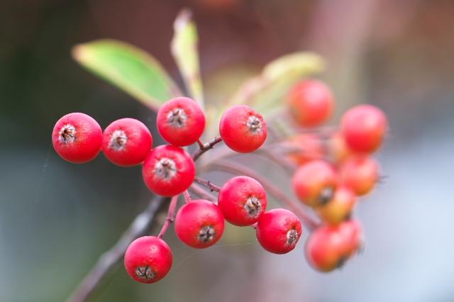 西洋カマツカ(西洋鎌柄 Aronia arbutifolia )-03